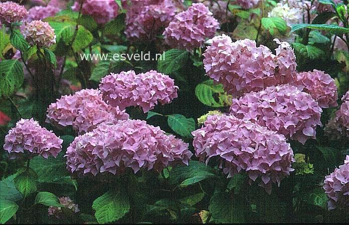 Hydrangea macrophylla 'Madame A. Riverain'