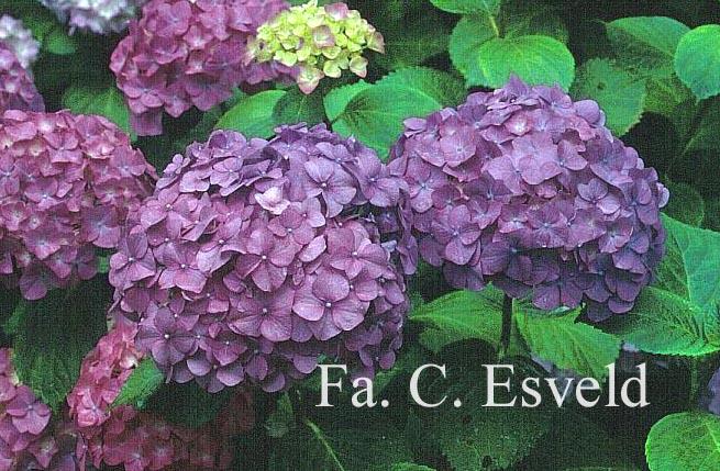 Hydrangea macrophylla 'Marechal Foch'