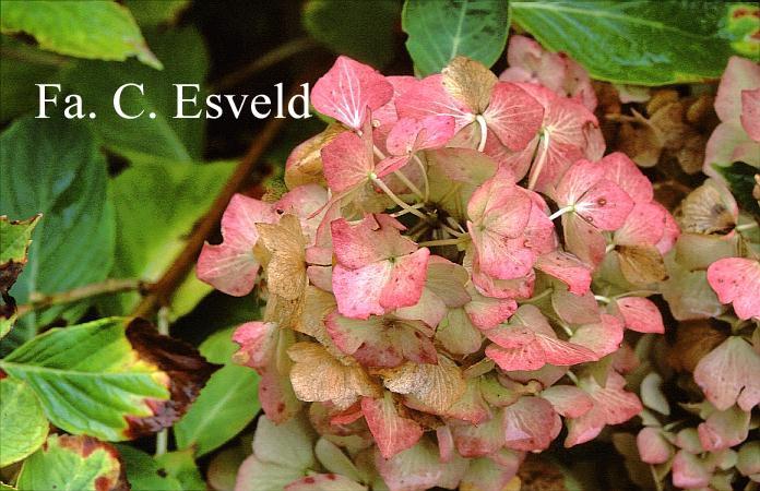 Hydrangea macrophylla 'Marquise'