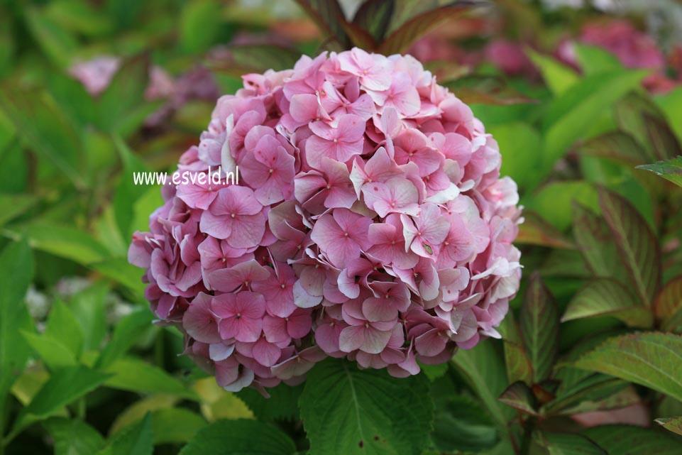 Hydrangea macrophylla 'Miss Hepburn'