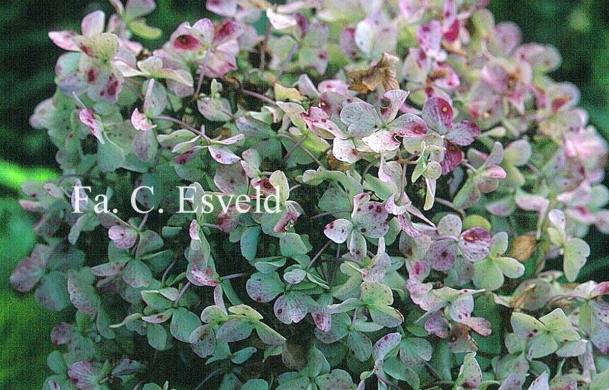 Hydrangea macrophylla 'Otaksa'