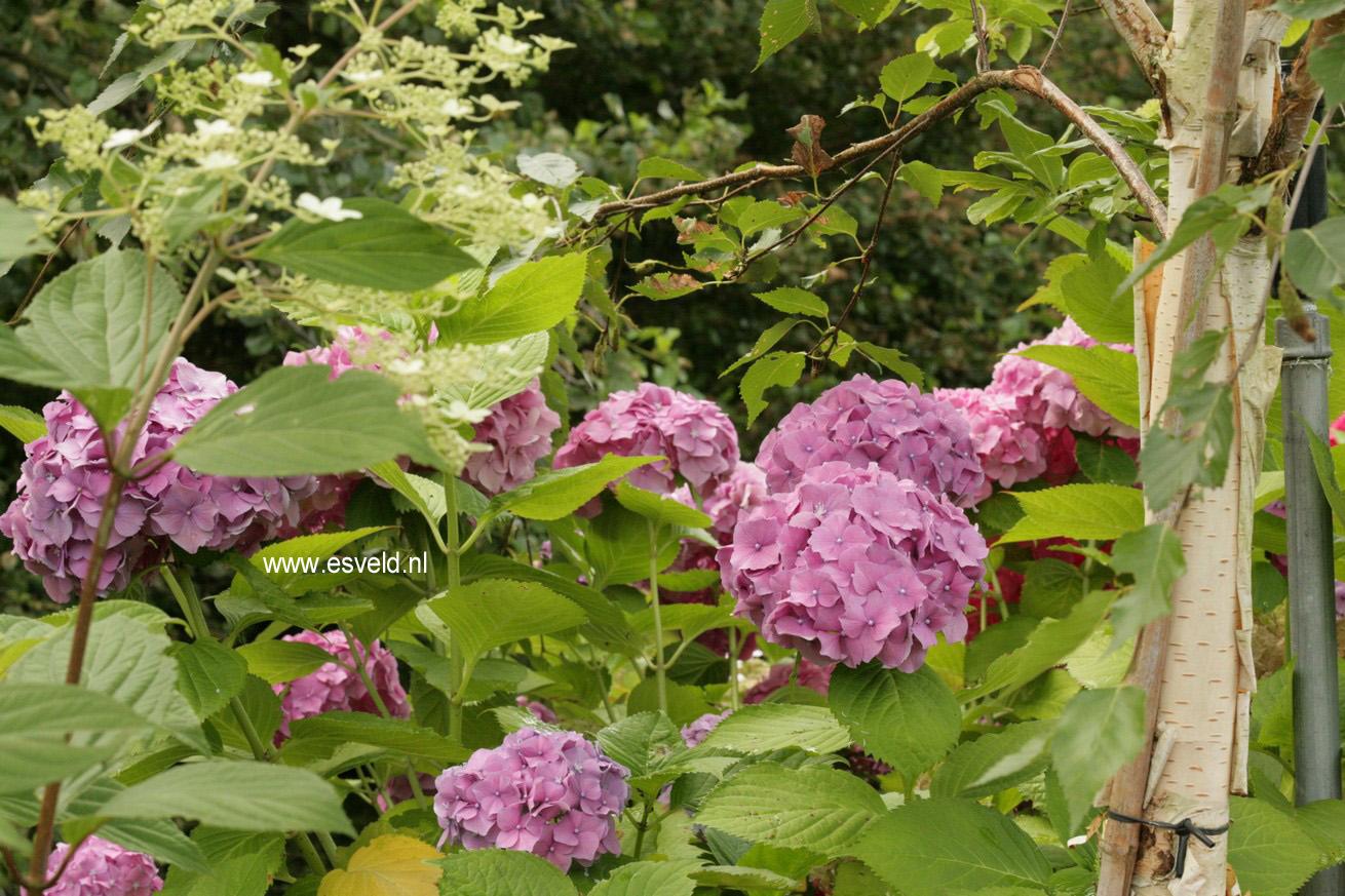 Hydrangea macrophylla 'R.F. Felton'