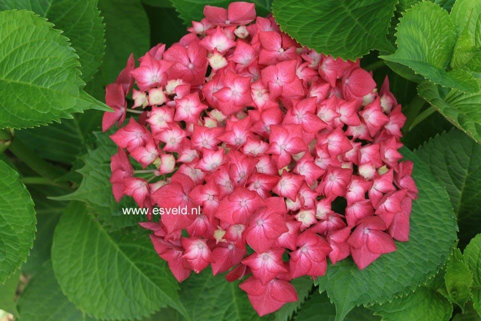 Hydrangea macrophylla 'Rheinland'