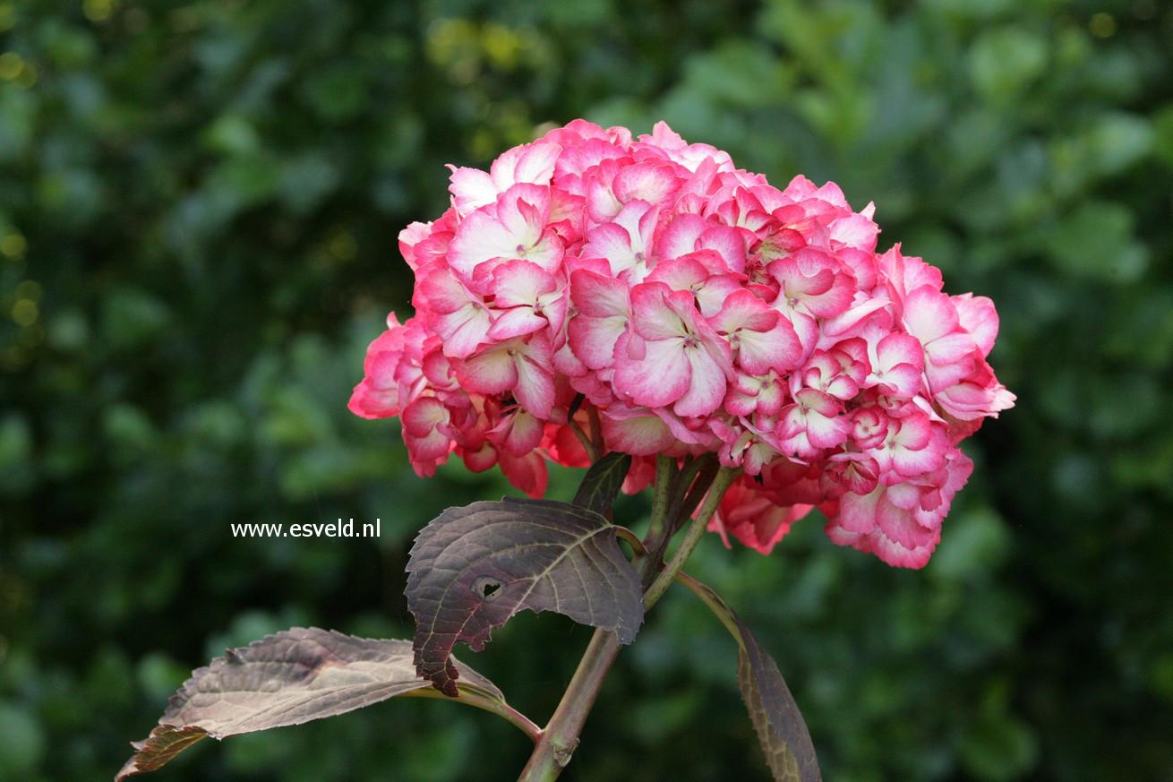 Hydrangea macrophylla 'Ripple'