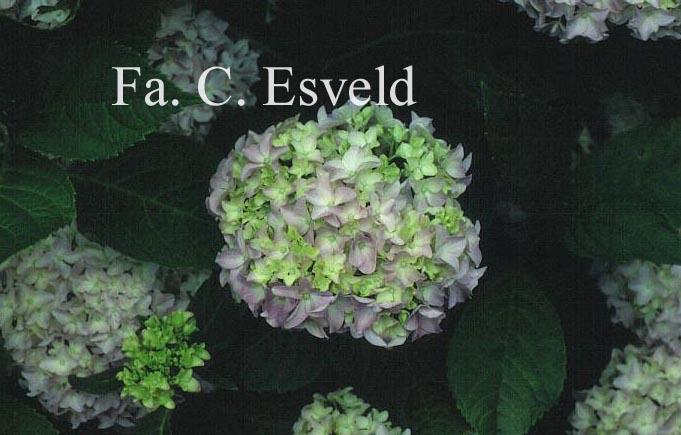 Hydrangea macrophylla 'Sainte Claire'