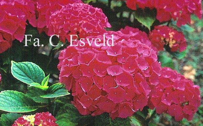 Hydrangea macrophylla 'Schöne Bautzenerin'