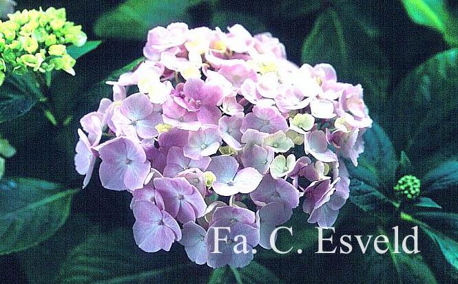 Hydrangea macrophylla 'Seascape'