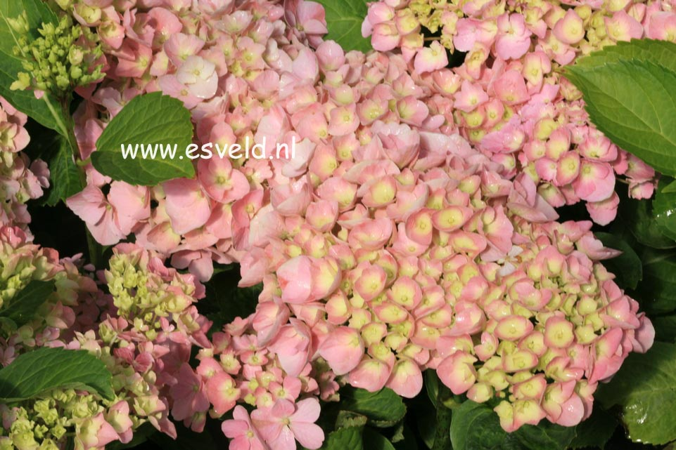 Hydrangea macrophylla 'Superbowl'