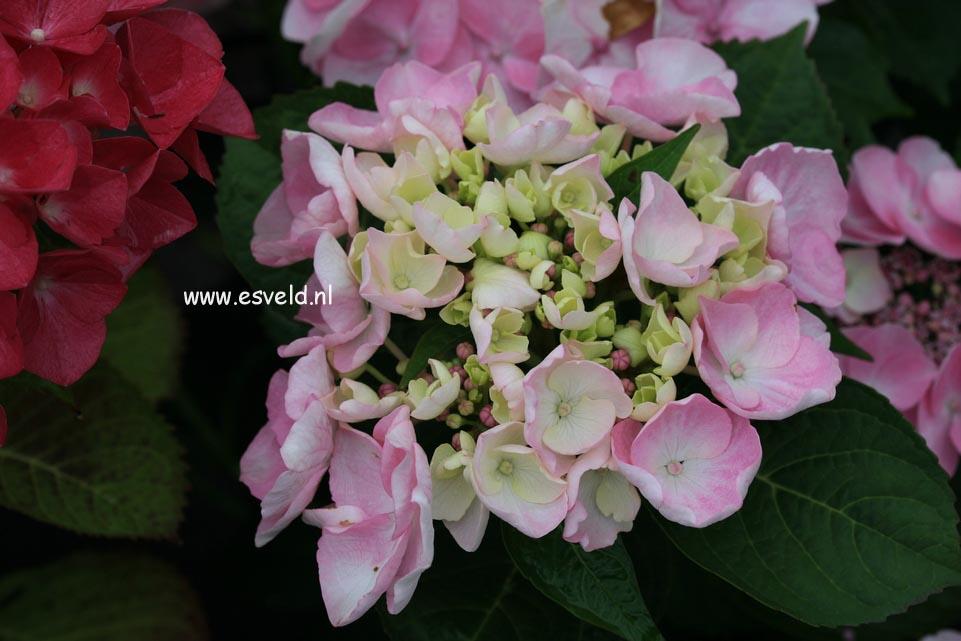 Hydrangea macrophylla 'Sweet Dreams'