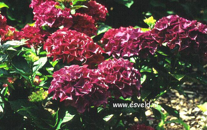 Hydrangea macrophylla 'Youmenine' (ROMANCE)