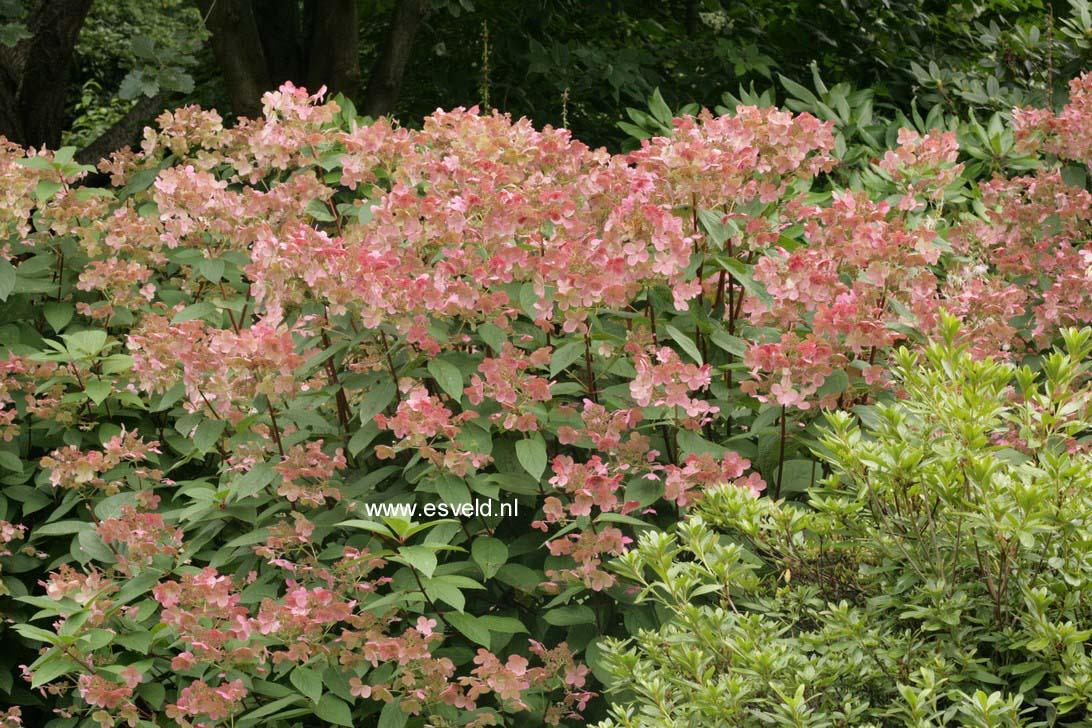 Hydrangea paniculata 'Bulk' (EARLY SENSATION)