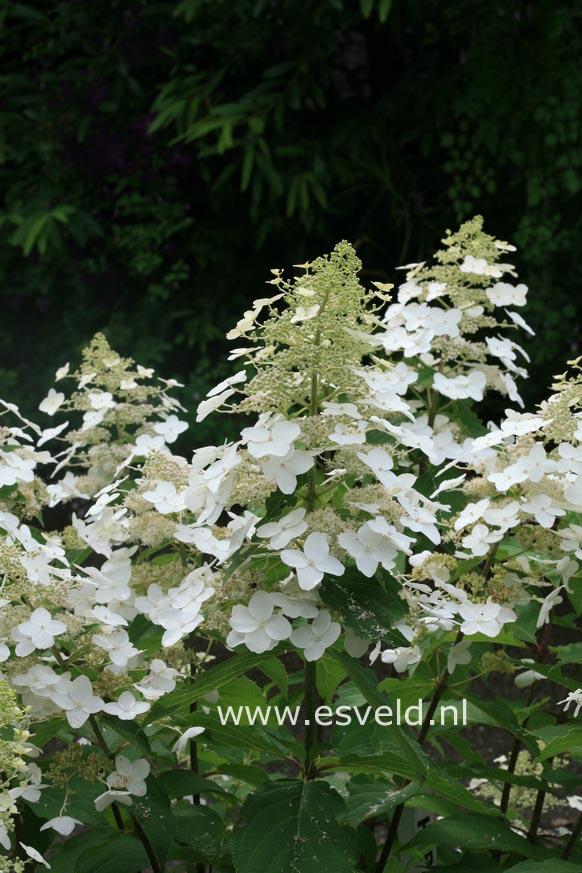 Hydrangea paniculata 'Last Post'