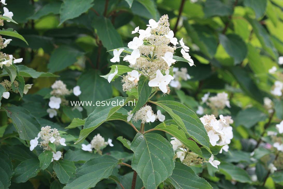 Hydrangea paniculata 'Papillon'