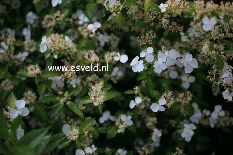 Hydrangea scandens