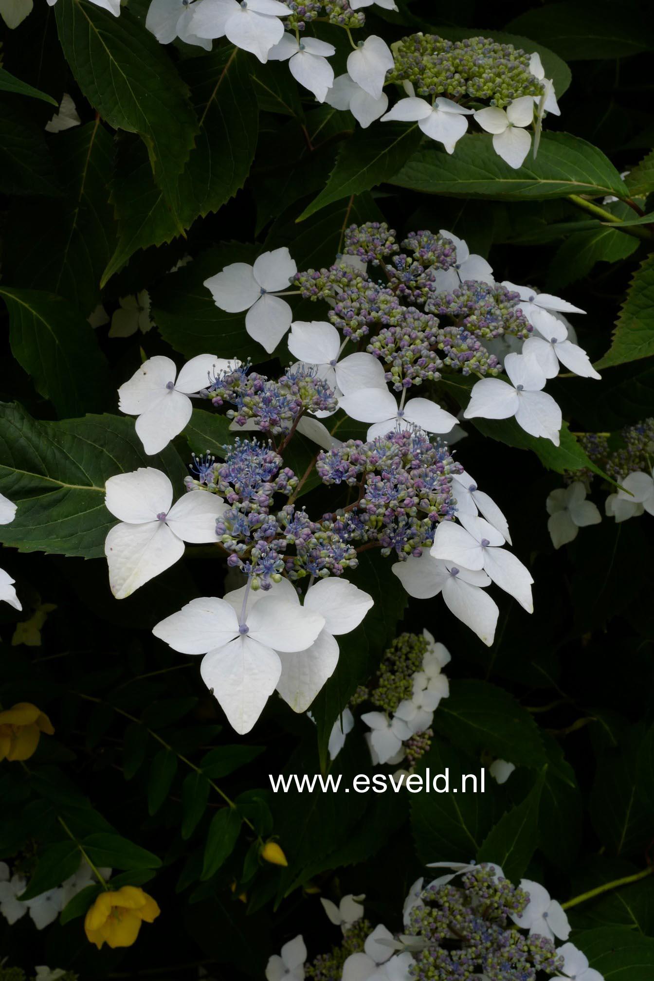 Hydrangea serrata 'Odoriko-amacha'
