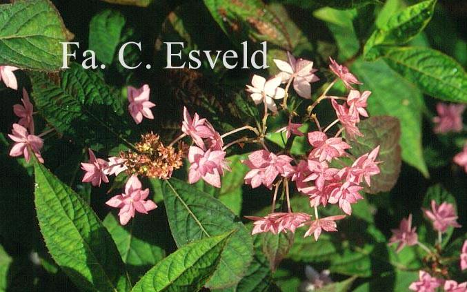 Hydrangea serrata 'Prolifera'