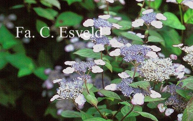 Hydrangea serrata 'Thunbergii'