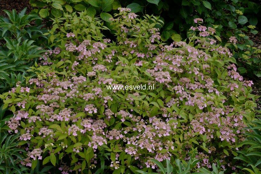 Hydrangea serrata 'Wilsonii'
