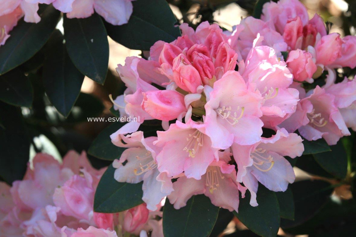 Rhododendron 'Love Song'
