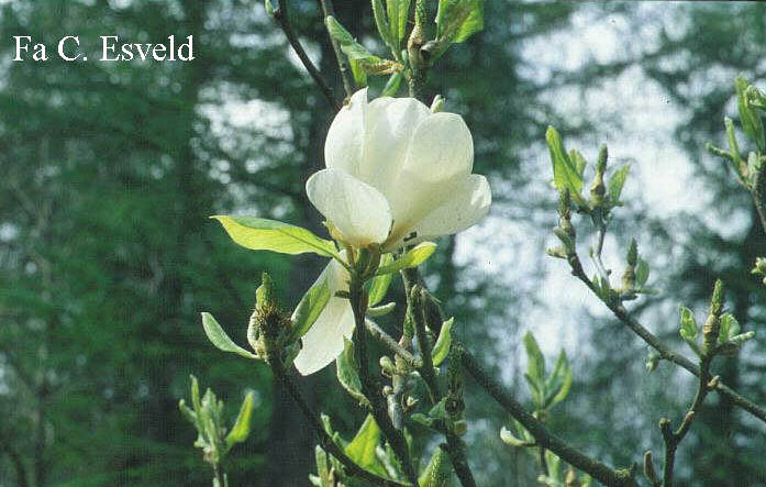 Magnolia soulangeana 'Lennei Alba'