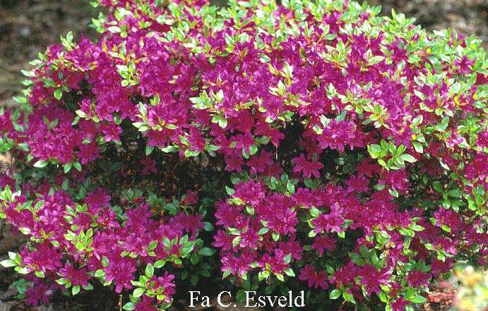 Rhododendron 'Kanpai' (Azalea)