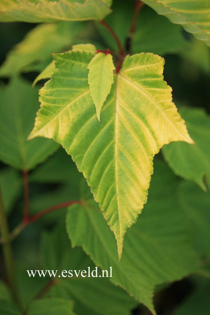 Acer davidii 'Golden Increase'