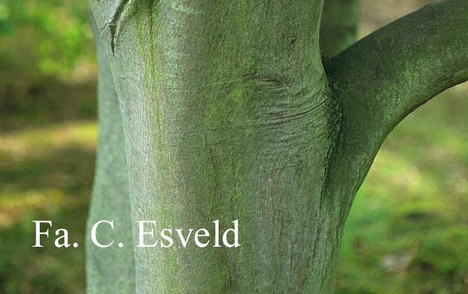 Acer oliverianum