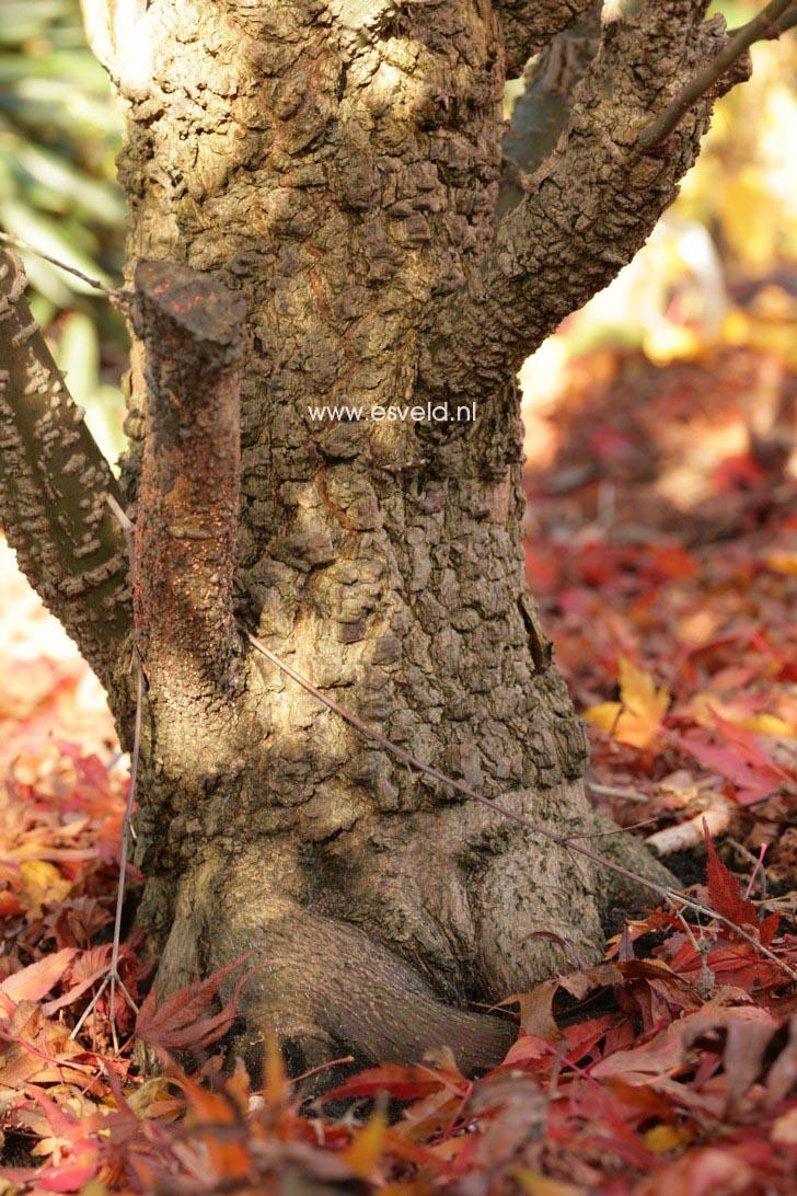 Acer palmatum 'Arakawa'