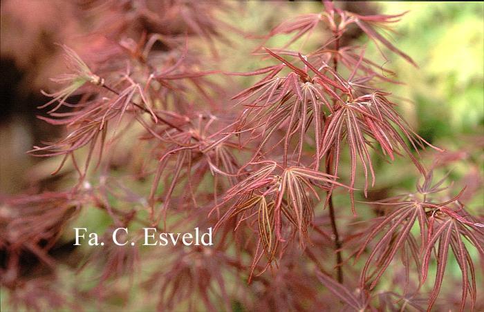 Acer palmatum 'Atrolineare'