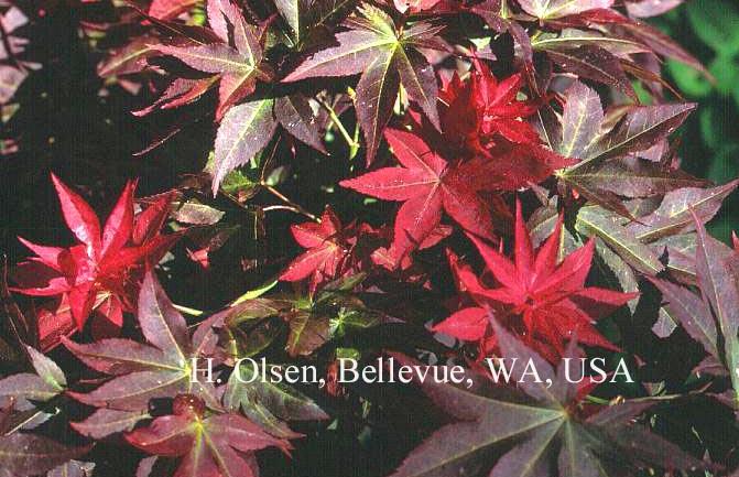 Acer palmatum 'Beni-hoshi'
