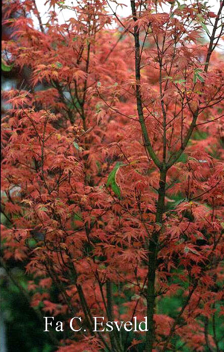 Acer palmatum 'Beni-shichi-henge'