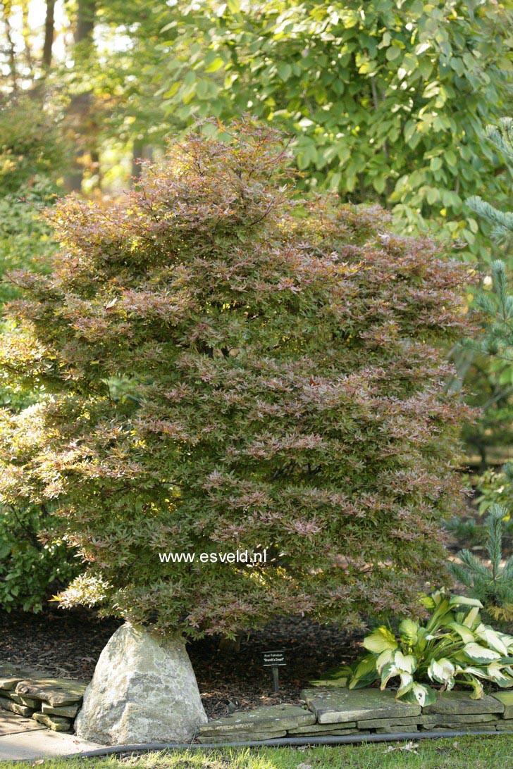 Acer palmatum 'Brandt's Dwarf'