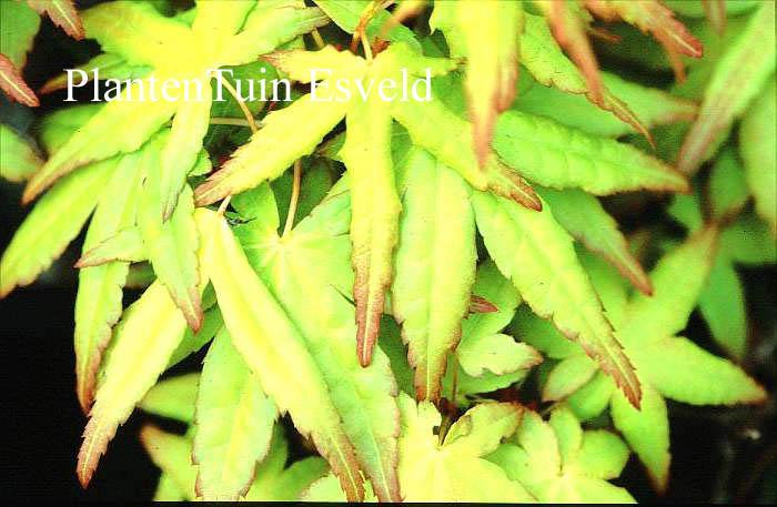 Acer palmatum 'Callico'
