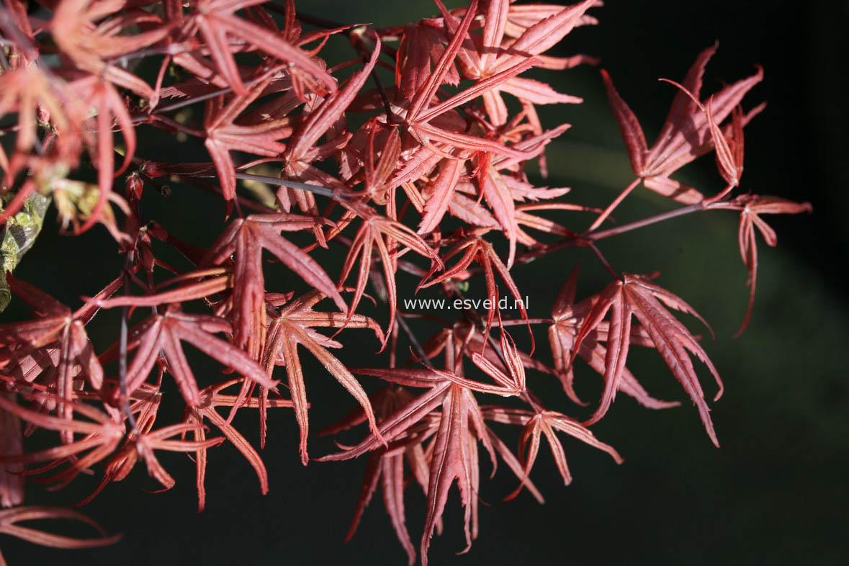 Acer palmatum 'Dr. Tilt'