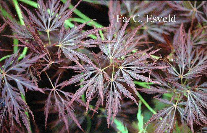 Acer palmatum 'Dragon's Fire'