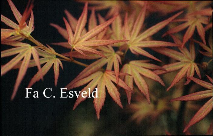 Acer palmatum 'Harusama' (Syohwa Period)