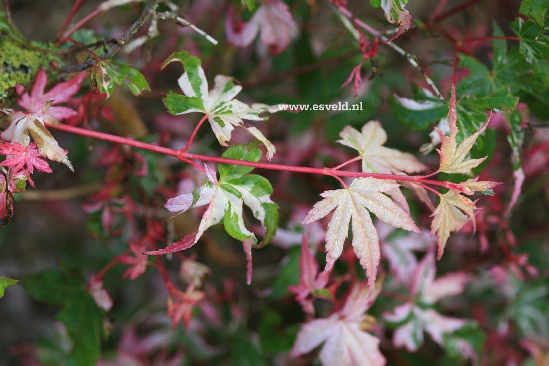 Acer palmatum 'Honoo'
