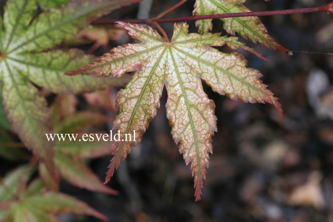 Acer palmatum 'Reticulatum Como'