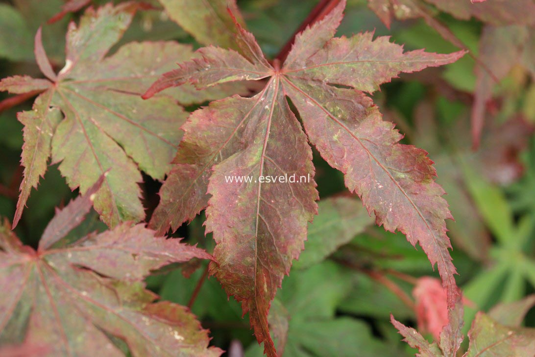 Acer palmatum 'Rugose'