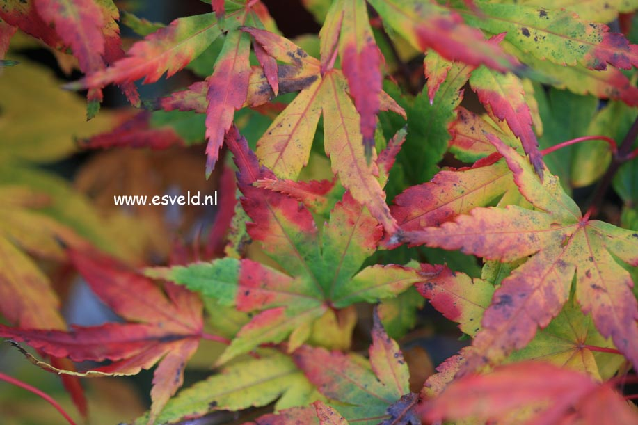 Acer palmatum 'Seiun-kaku'