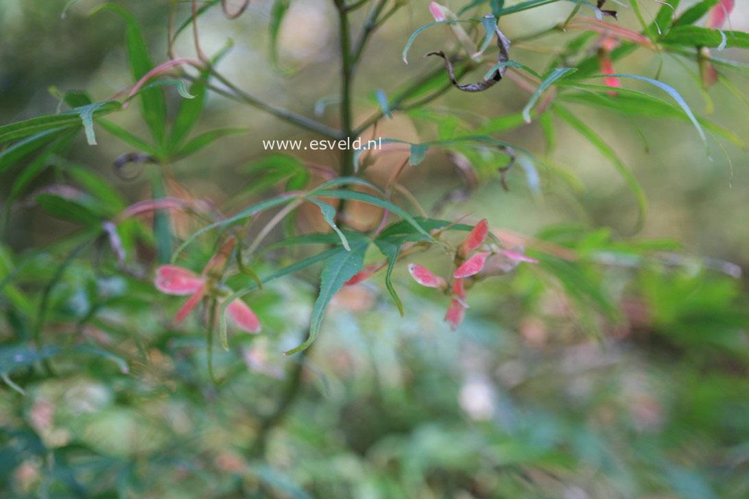 Acer palmatum 'Shinobu gaoka'