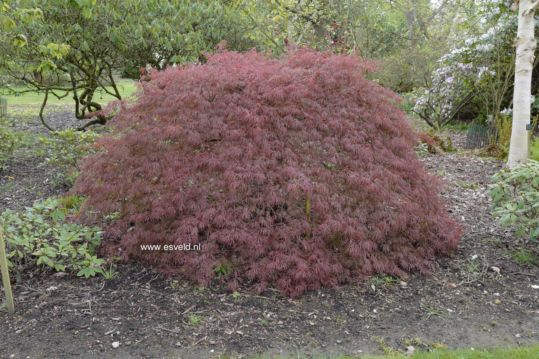 Acer palmatum 'Tamuke-yama'