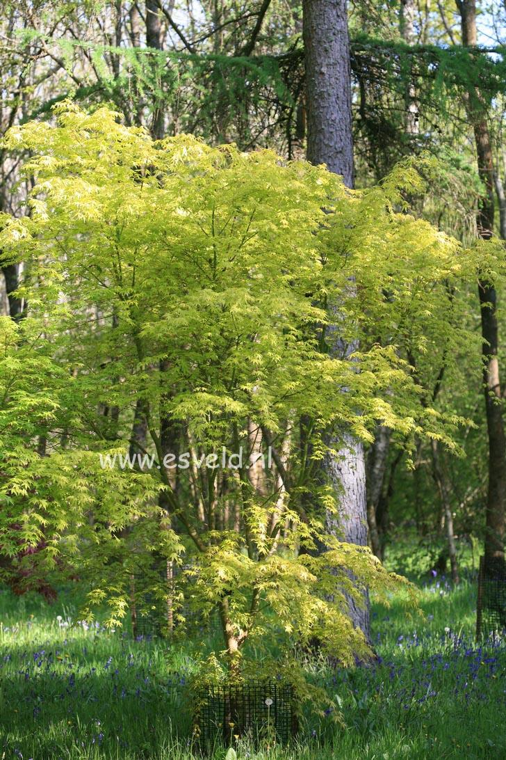Acer palmatum 'Ueno homare'