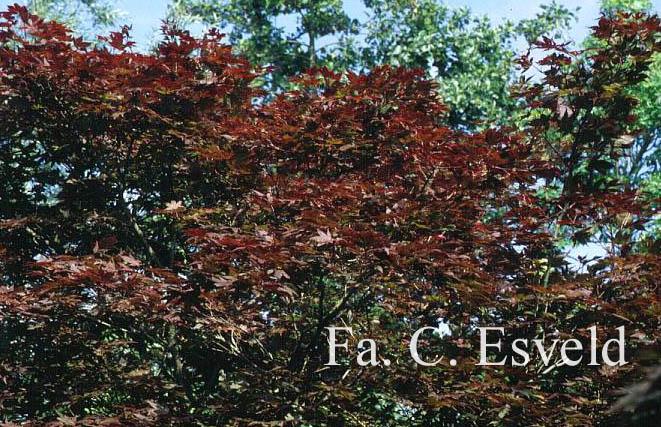 Acer palmatum 'Yezo-nishiki'