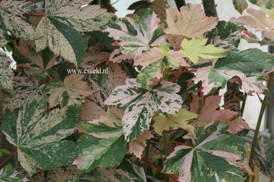 Acer pseudoplatanus 'Eskimo Sunset'