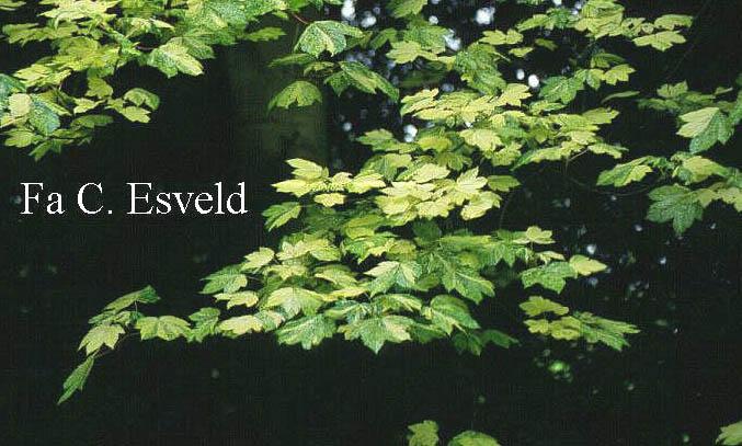 Acer pseudoplatanus 'Leopoldii'