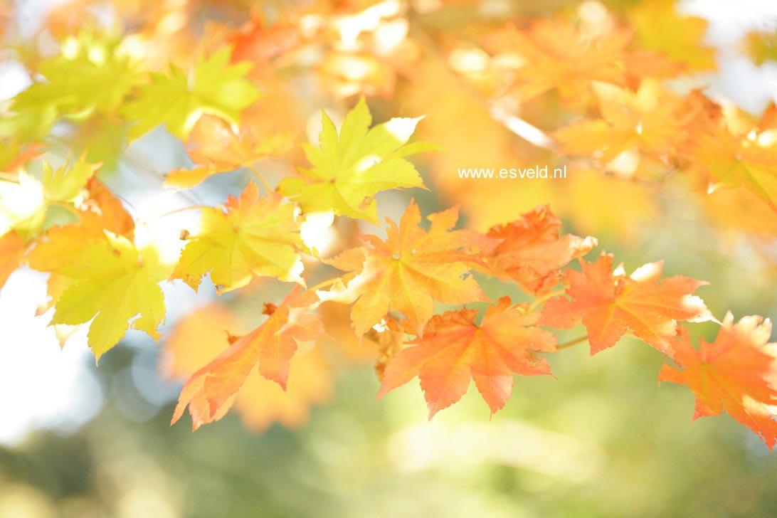 Acer pseudosieboldianum takesimense