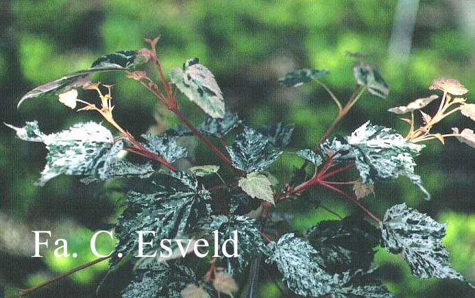 Acer rubescens 'Silver Cardinal'