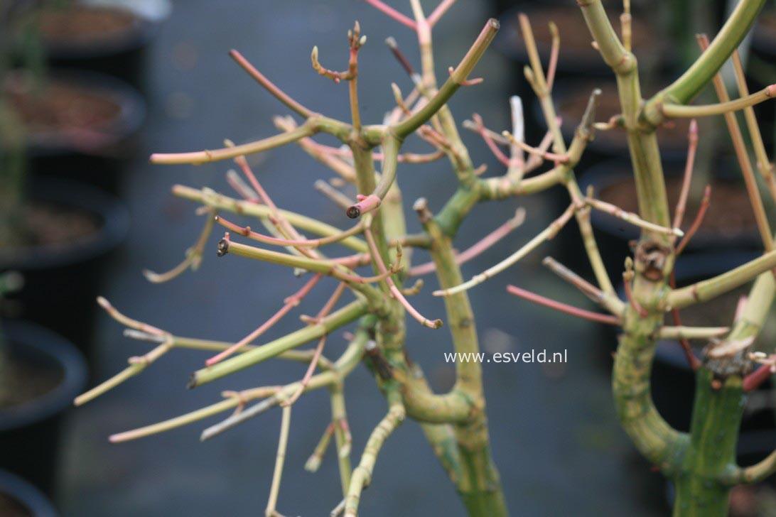 Acer rubescens 'Tickled Pink'