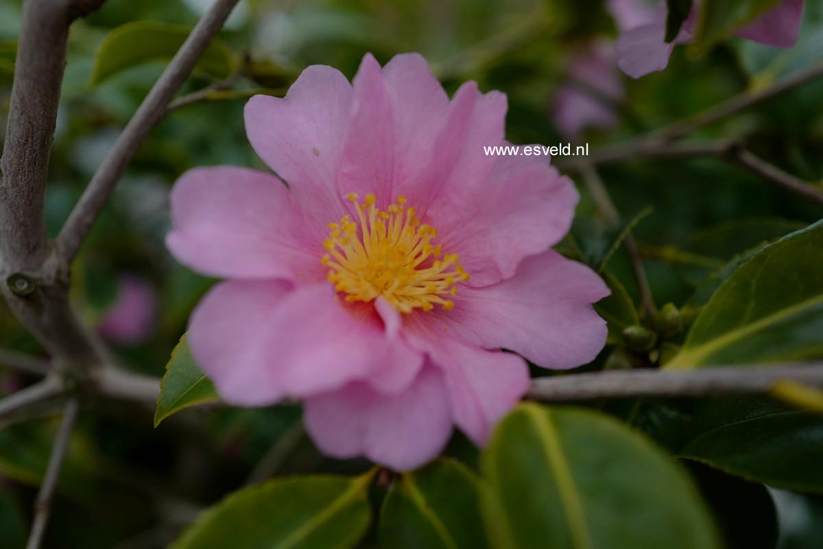 Camellia 'Ashton's Pink'